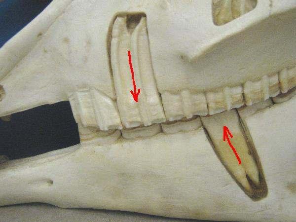 equine-adv-dental2 (1).jpg