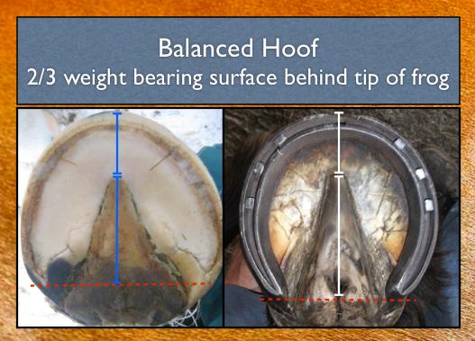 balanced hoof.png