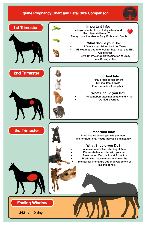 Equine Pregnancy Chart and Fetal Size Comparison