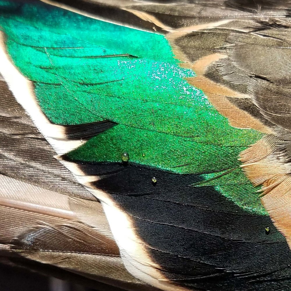 Green-winged teal feather magic.