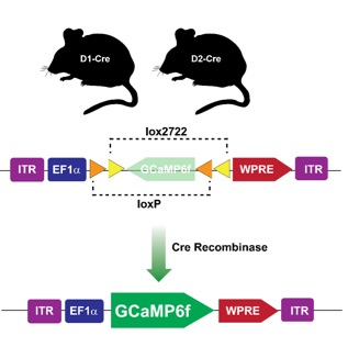 Using Cre-recombinase to express transgenes in a cell-type specific fashion in vivo.