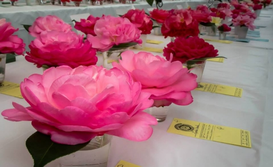See gorgeous displays of camellia blooms on March 10 during the annual Camellia Flower Fair & Plant Sale, a free event hosted by the Charlotte Camellia Society.