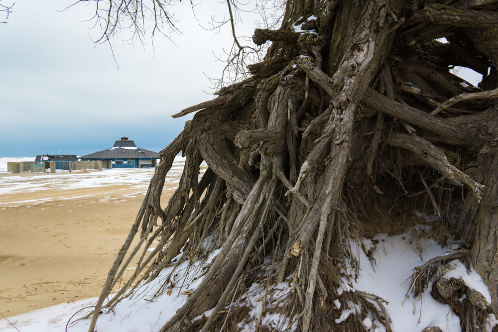 Old gnarly tree on the beach.