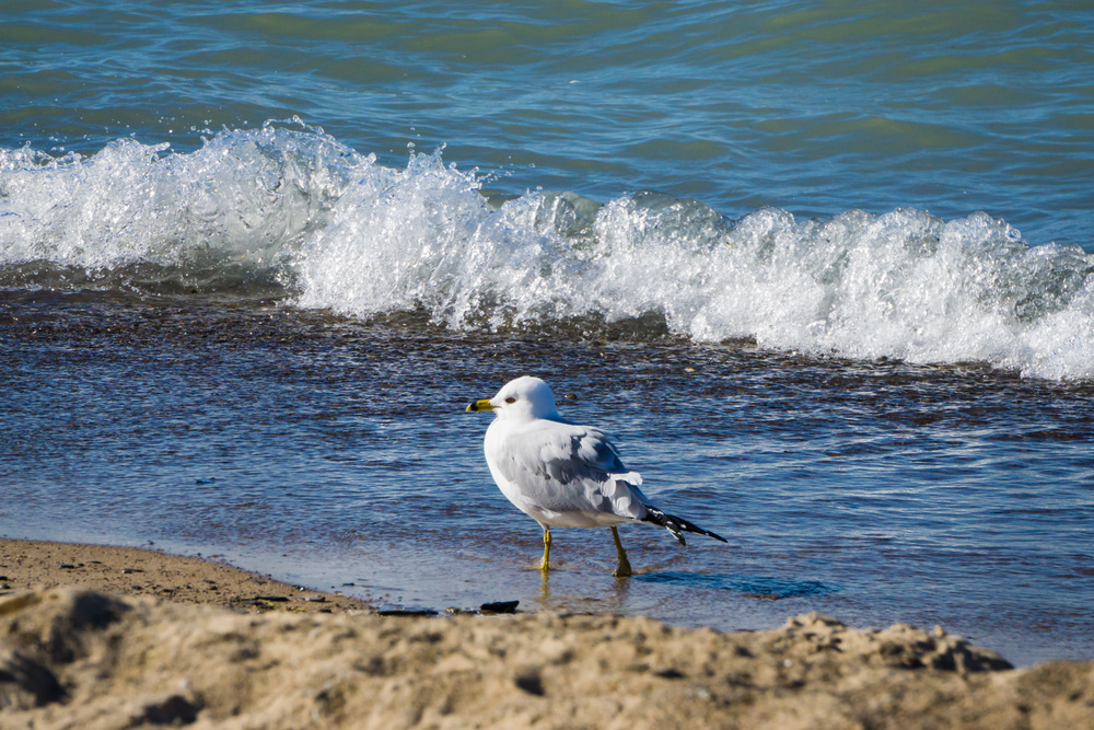 Lone seagull strolling by Lake Michigan's shore