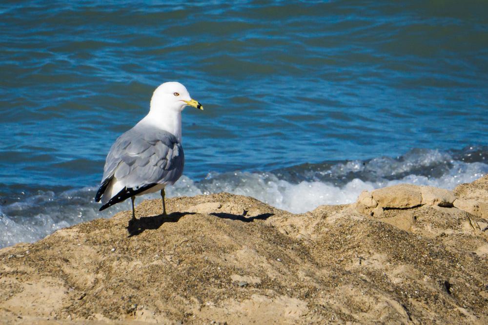 Seagull peering back