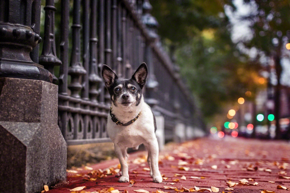 The Dog with a Bow Photography Cochrane Calgary Alberta Photographer of Pets-5.jpg