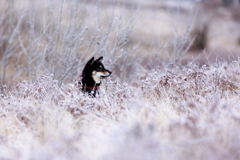 The Dog with a Bow Photography Cochrane Calgary Alberta Photographer of Pets-3 copy.jpg