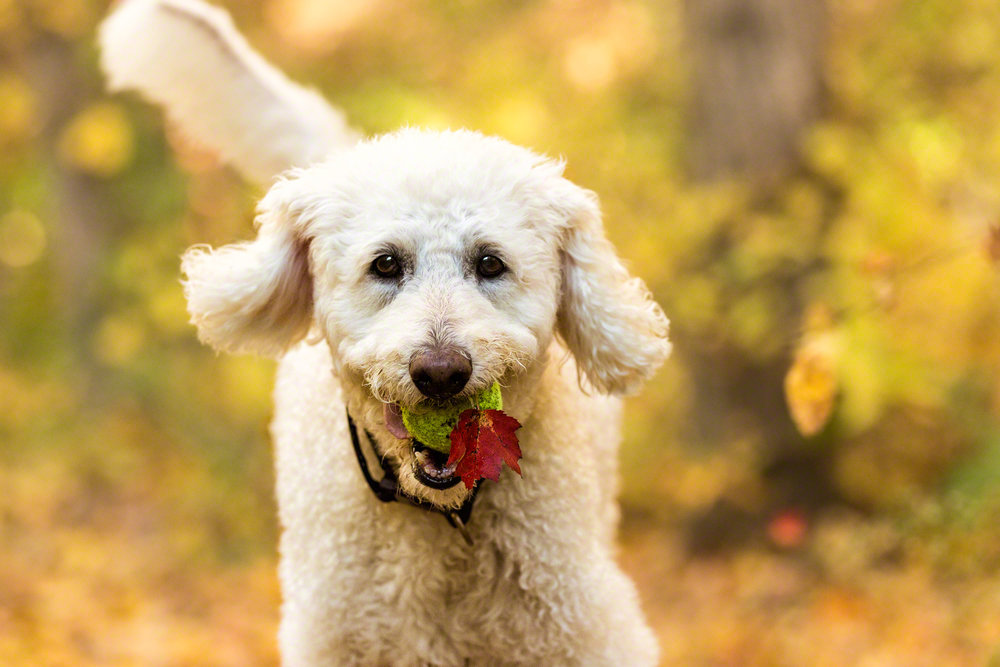 The Dog with a Bow Photography Cochrane Calgary Alberta Photographer of Pets-8 copy.jpg