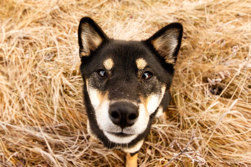 the_dog_with_a_bow_photography_calgary_pet_dogs-7.jpg