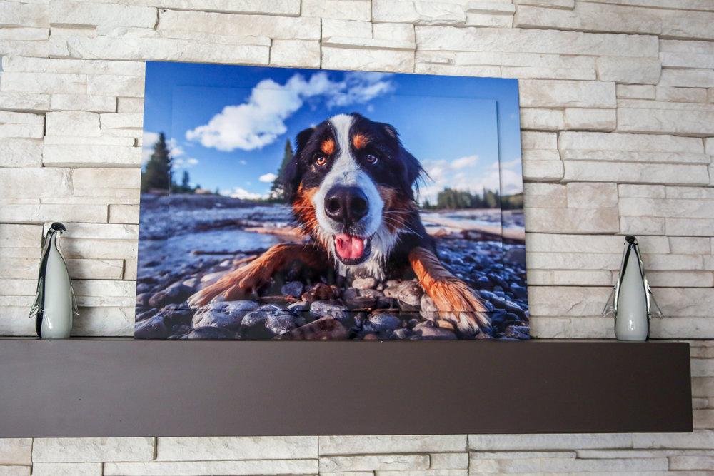 Double Float Metal Print of a Bernese Mountain Dog on wet rocks.jpg