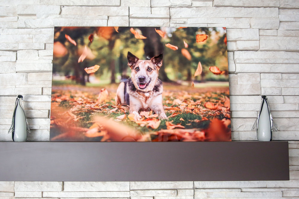 Modern Metal Print of a Dog in fall leaves.jpg