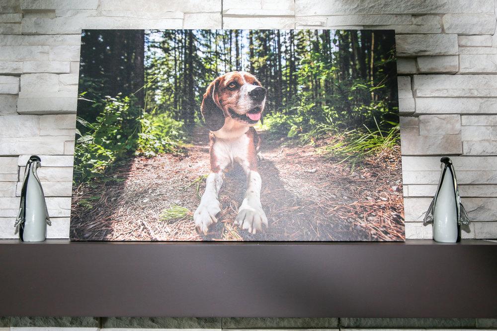 Premium Canvas Wrap of beagle dog in grass.jpg