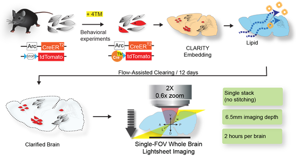 Schematic of ArcTRAP labeling and the enhanced cohort-scale CLARITY pipeline for rapid whole brain clearing and imaging