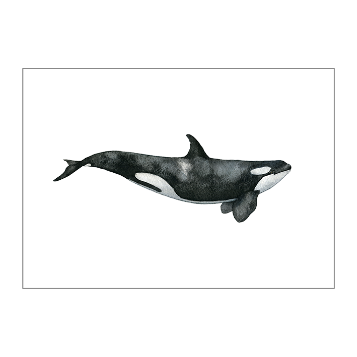 The Killer Whale on paper
