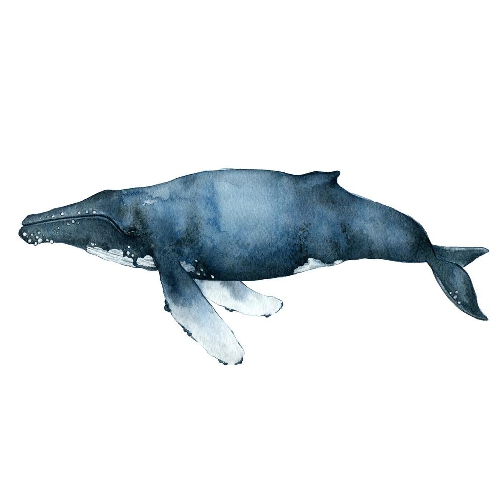 The Humpback Whale