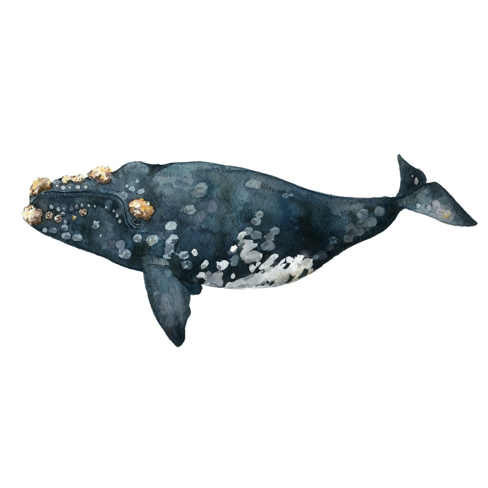 The Callosity Whale