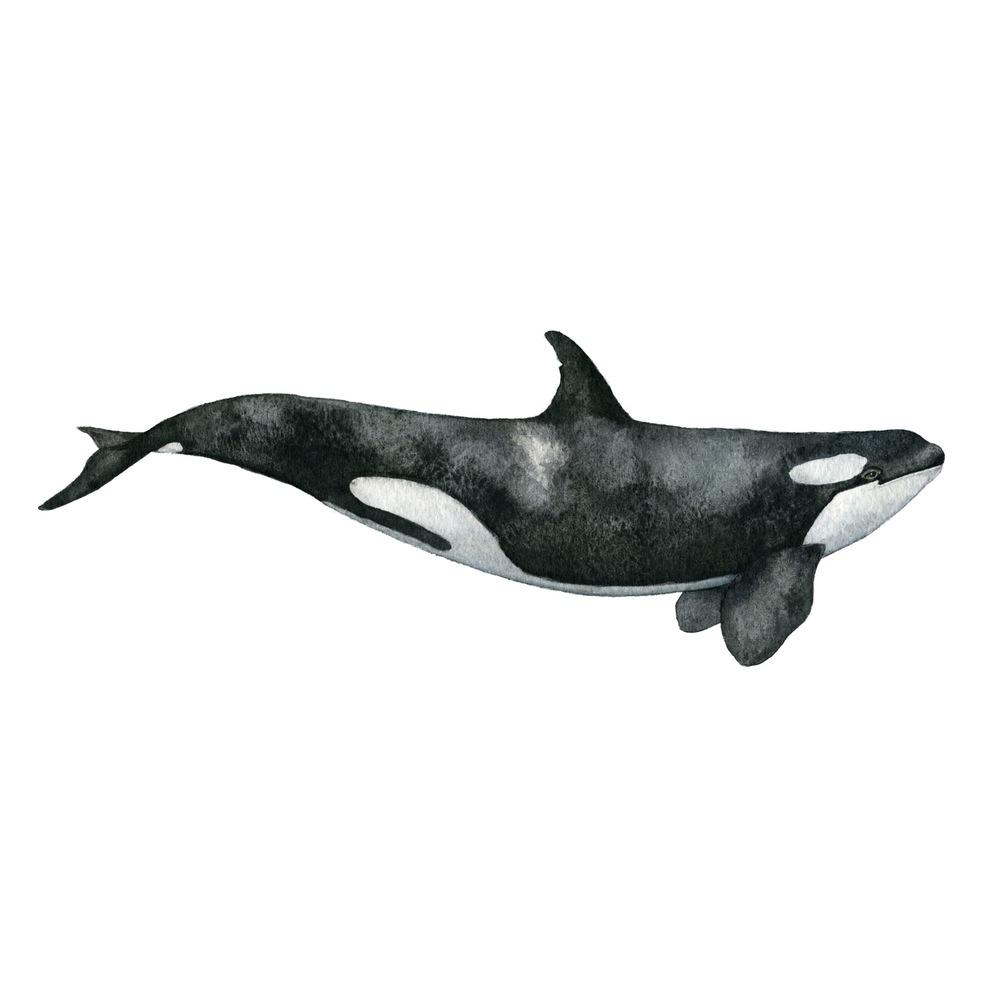 Angelica Sollander_The_killer_whale_klar.jpg
