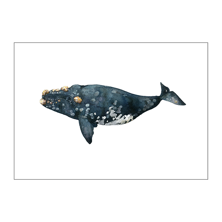 Angelica_Sollander_Callosity_Whale.png