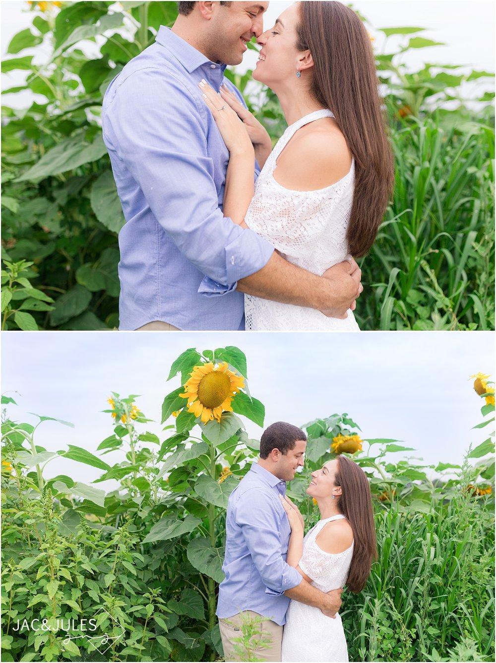 sunflower field in nj