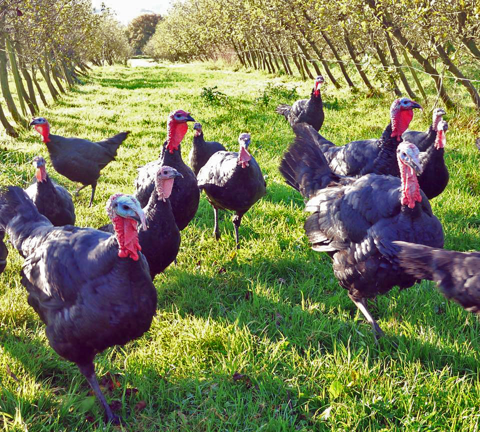 Tablelhurst Turkeys in the apple orchard