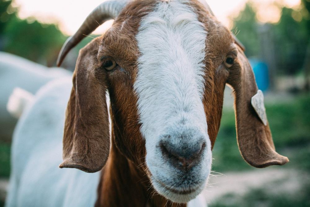 A Goat (Photo Credit: Fineas Anton, Unpslash.com)