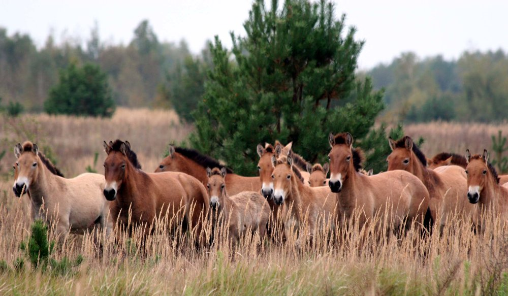 Endangered Przewalski's horses living in Chernobyl exclusion zone