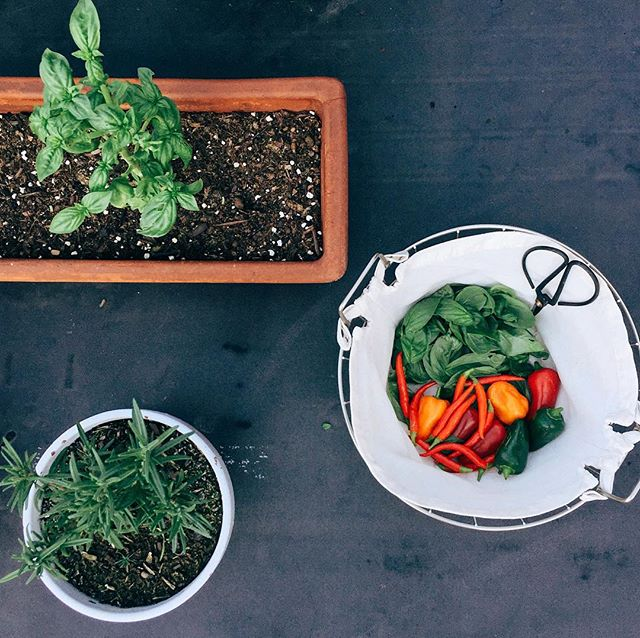 gathered all my thoughts about our little rooftop garden on the blog, to prepare for spring planting. 🌿 first time and experienced gardeners your thoughts are welcomed! happy Saturday! - C • • • • • • • • #organicliving #plantbasedmedicine #feelbetternaturally #foodismylovelanguage #iamwellandgood  #veggiestyle #eatfresh #eatfoodnottoomuchmostlyplants  #gardenfood #aplateofcolor #lunchfromthegarden #rooftopgarden #veggiegarden #feedfeed #cleaneats #f52grams #plantbased #healthyliving #food52 #mindbodygreen #lifeandthyme #makeshiftblog