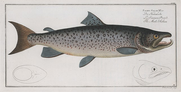 Rare Book Division, The New York Public Library. (1785 - 1797).  Salmo Salar Mas, The Male-Salmon.