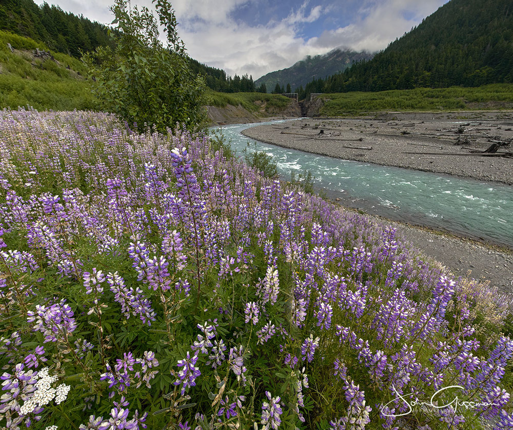 Lupine flood what used to be the former Lake Mills in 2017. The nitrogen-fixing flower is helping plants thrive. Photo by John Gussman.