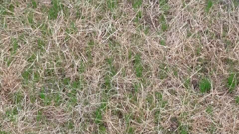 Lawn 10 days.jpeg