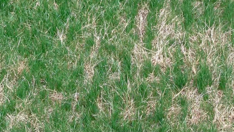 Lawn 20 days.jpeg