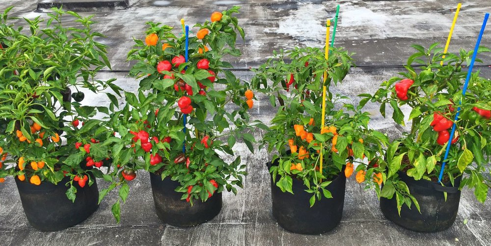 New York City Rooftop Peppers growing in  5 gallon RootEase pots