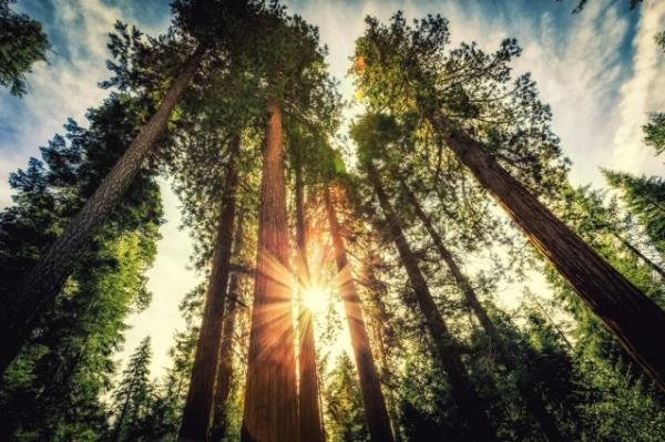 ca_big_trees.jpg
