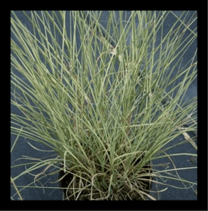 Variegated Silver Grass, Eulalia