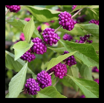 Beautyberry 'American'