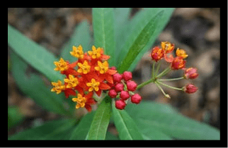 Bloodflower, Butterfly Weed