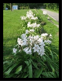 Crinum lilly