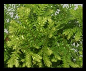 Gold Tips Arborvitae Fern