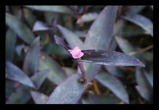 Purple Heart, Purple Queen