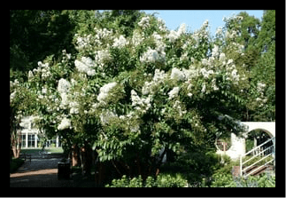 Crape Myrtle (Mixed Variety)