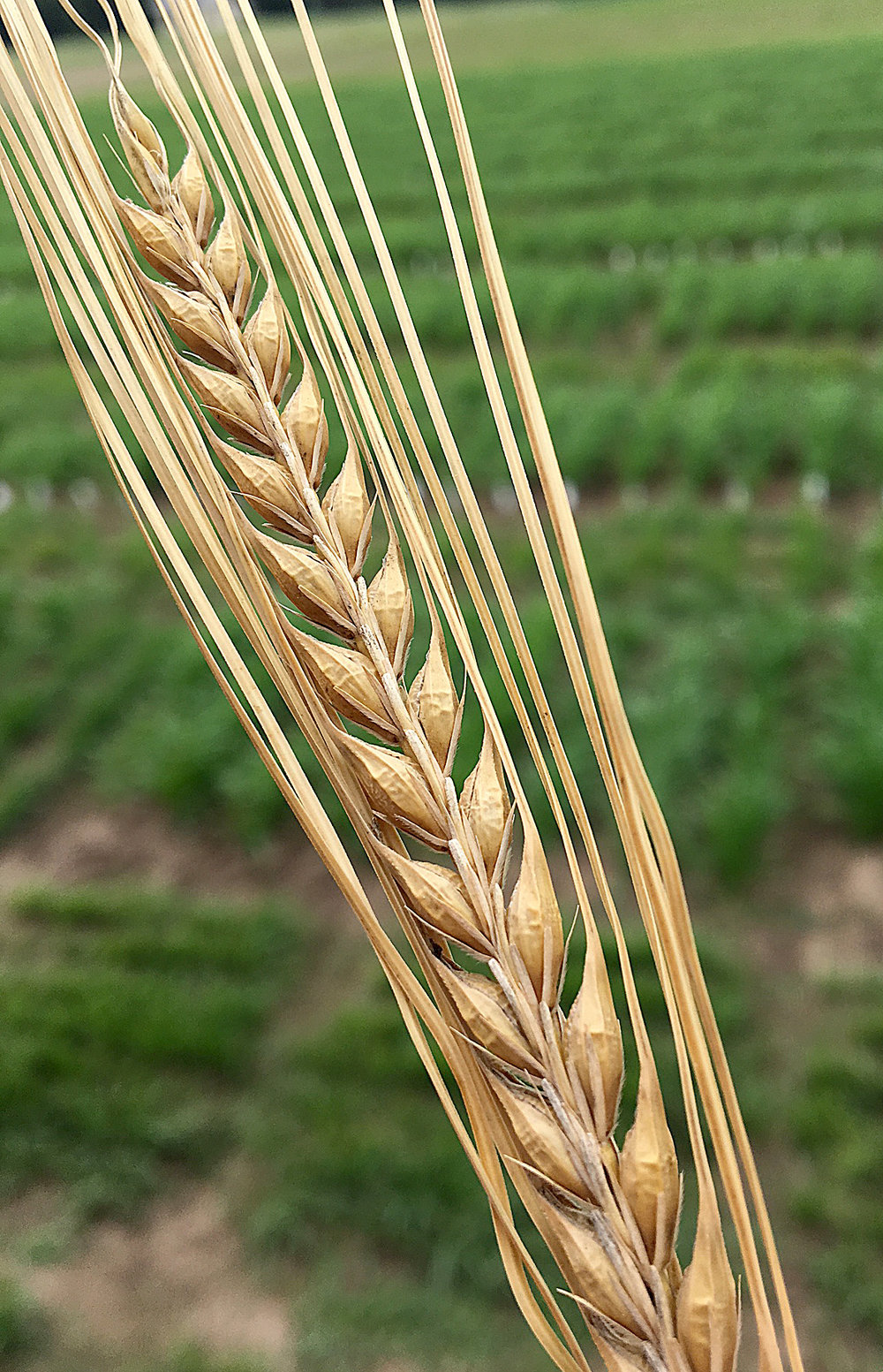 Beautiful 2-row barley.