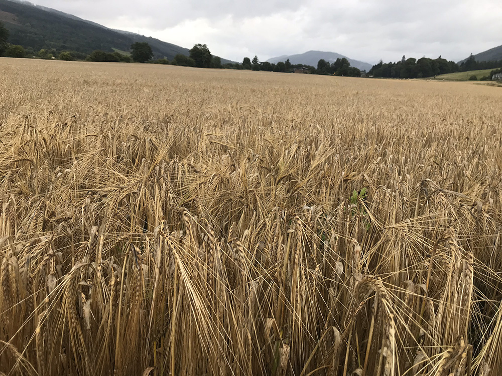 A barley field in Aberdeenshire.  Some of our grain probably comes from a field very near this one.