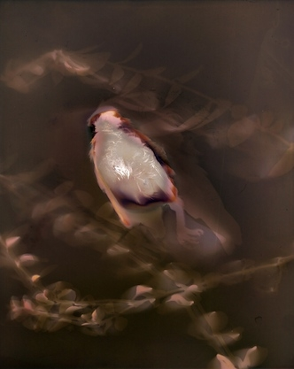 Purple Finch #1