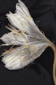 Night Blooming Cereus #1