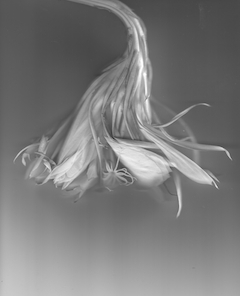 Night Blooming Cereus #2