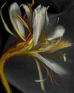 Night Blooming Cereus #13