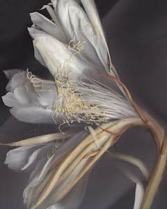 Night Blooming Cereus #31