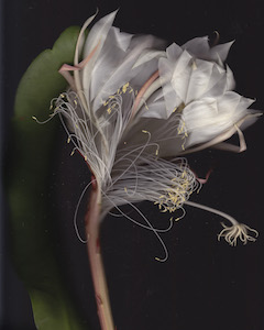Night Blooming Cereus #59