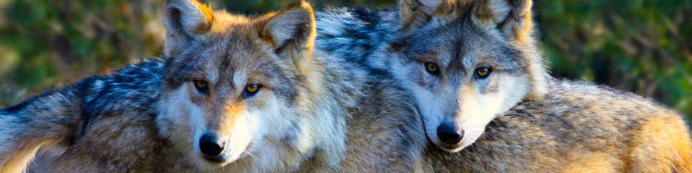 wolves-naturespace-app