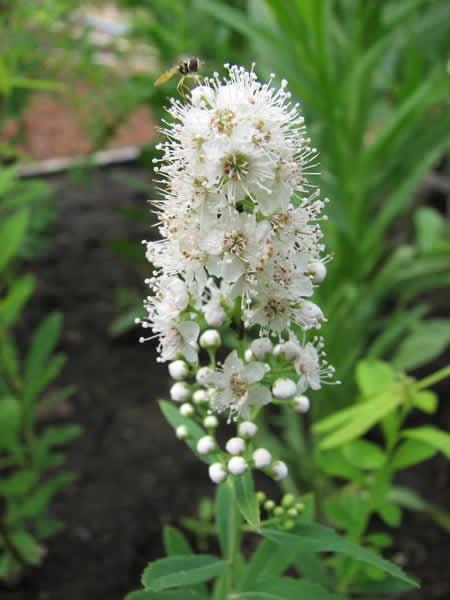 Spiraea-alba-Meadowsweet-flower